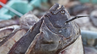 A Connecticut Lobsterman